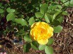 Yellow Rose of Judah