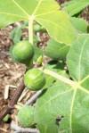 First figs in Judah