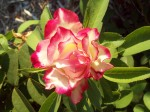 Cherry Parfait rose in Judah