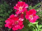 Fourth of July rose in Reuben