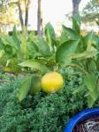 Ripening citrus in Ephraim