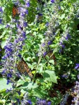 Monarchs in the salvia