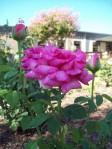 Peace Rose in Judah