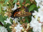 Monarch on abelia blossoms