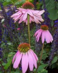 Coneflower in Reuben