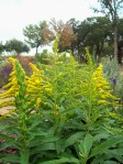 Goldenrod in Gad