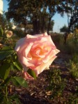 Rose in Judah
