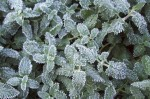 Hard Frost in Issachar