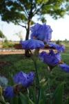More Irises in Zebulun