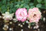 Roses in Judah