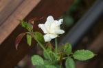 White Rose in Reuben