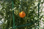Tomatoes by Solomon's Porch - yum!