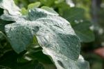 Dew-drops on a fig leaf