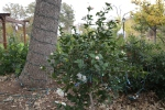 Camellia - this plant only blooms in the winter!