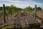 vineyard_1