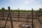 vineyard_12