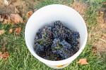 grapeharvest_1