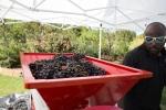 grapeharvest_10