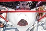 grapeharvest_11