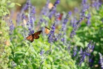 monarchs_1
