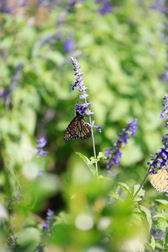 monarchs_10
