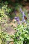 monarchs_11