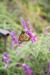 monarchs_13