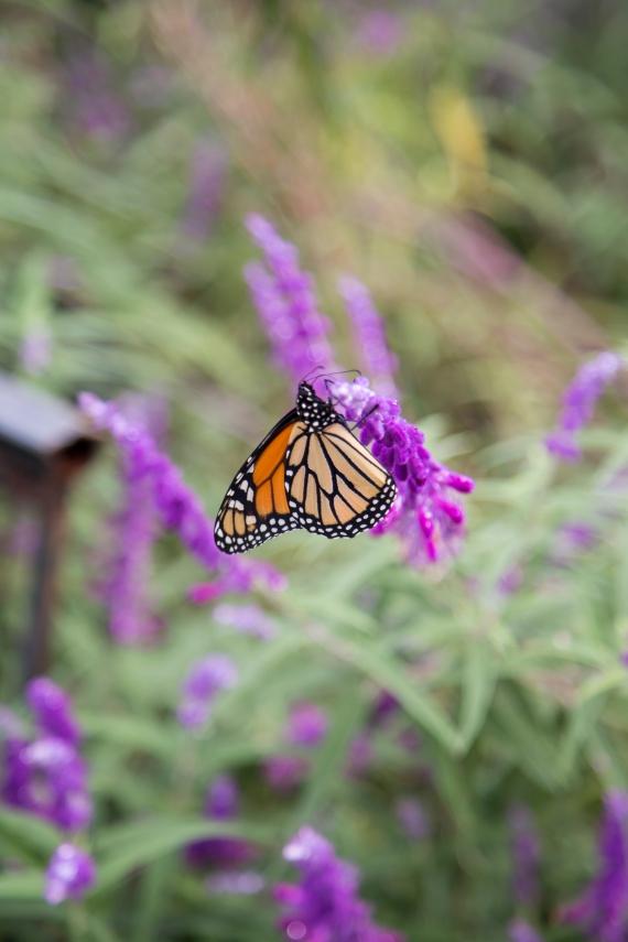 monarchs_14