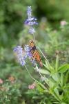 monarchs_15