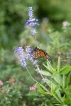 monarchs_16
