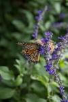 monarchs_17