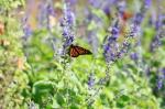 monarchs_2