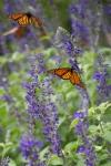 monarchs_20