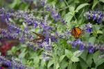 monarchs_22
