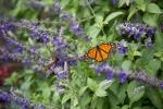 monarchs_23