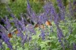 monarchs_24