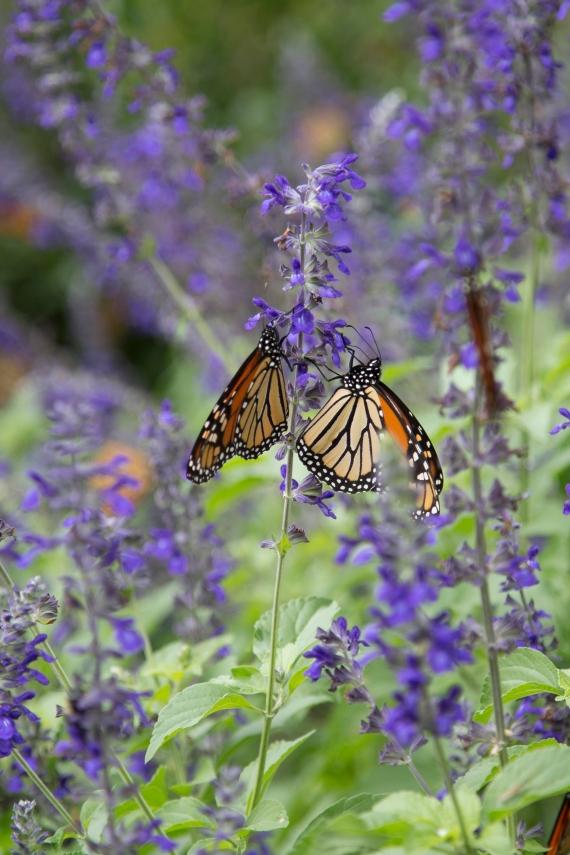 monarchs_25