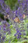 monarchs_26