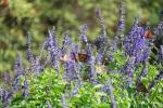 monarchs_3