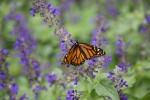 monarchs_33