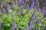 monarchs_4