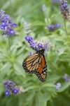 monarchs_43