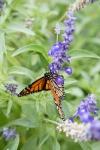 monarchs_45