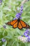 monarchs_46