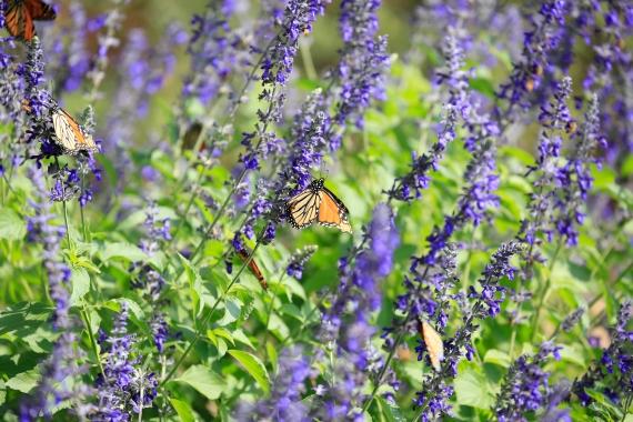 monarchs_5