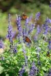 monarchs_6