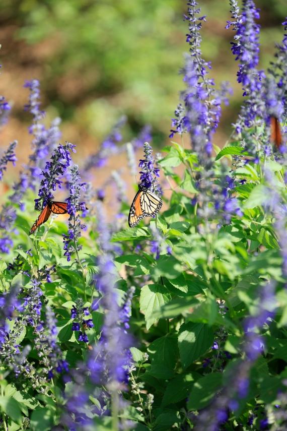 monarchs_7