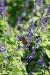 monarchs_9