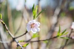 Peach Tree behind Naphtali