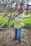 Pam pruning the fig tree